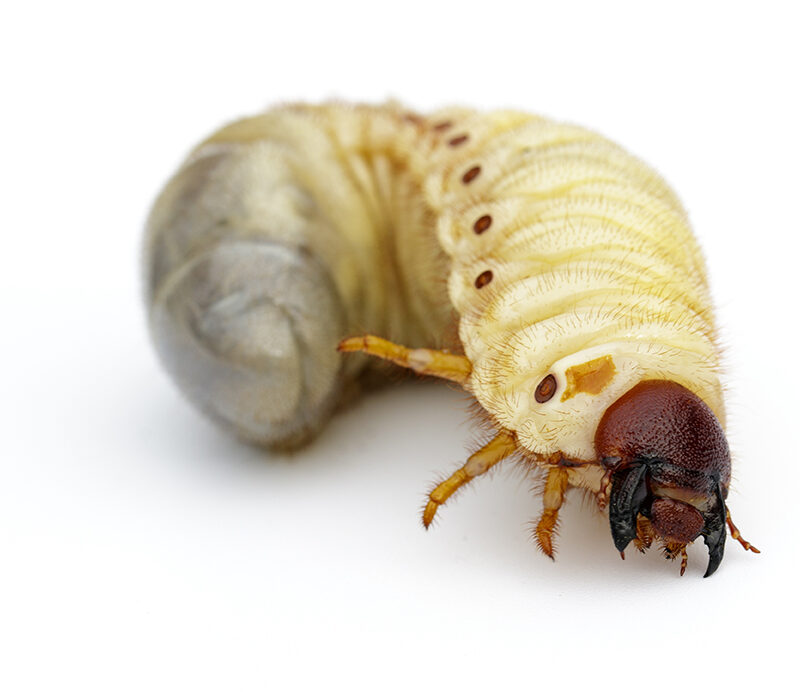 grub bug